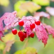 Viburnum — Stock Photo #2179890
