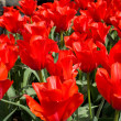 Background with blooming red tulips — Stock Photo