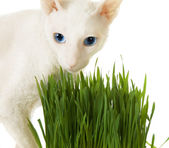 Branco cornish-rex e grama verde — Foto Stock