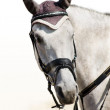Head of grey sporting horse — Stock Photo #2576072