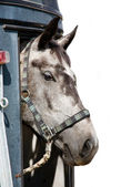 Head of grey horse in trailer — Stock Photo