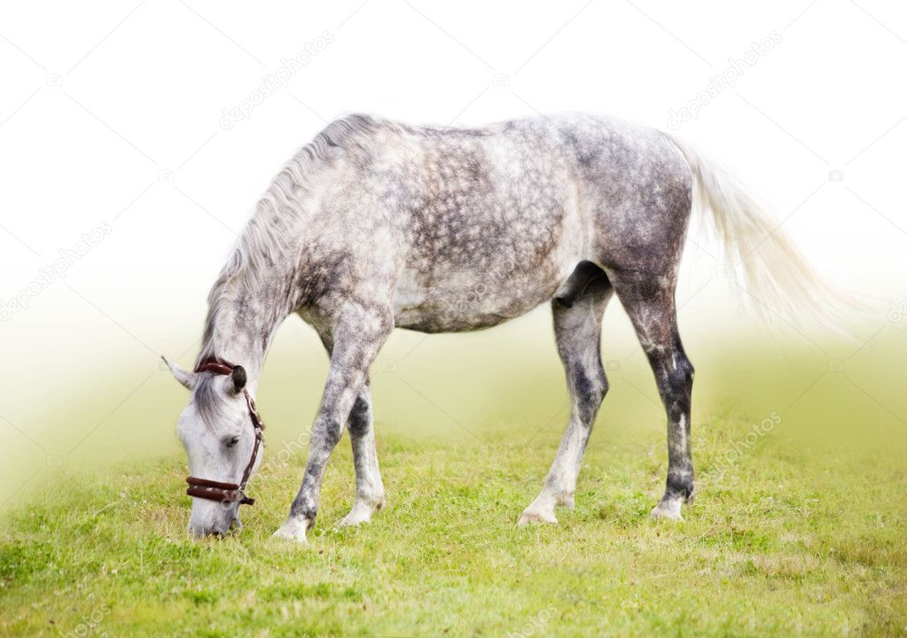 Feeding dappled gray horse — Stock Photo #2580148