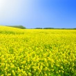 Rape field in the springtime — Stock Photo