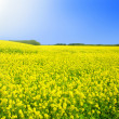 Royalty-Free Stock Photo: Rape field in the springtime