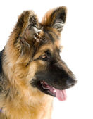Pappy of german shepherd dog — Stock Photo