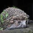 The hedgehog walks at night - Stock Photo