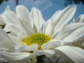 Margarida flor — Fotografia Stock