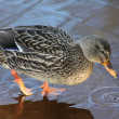 Female mallard duck on ice — Stock Photo