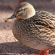 Female mallard duck. — Stock Photo #1384657
