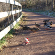 Bear and ducks - Photo