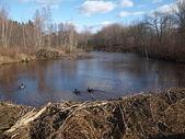 Mallard ducks and beaver dam — Stock Photo