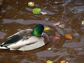 Male mallard duck — Стоковое фото