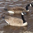 Stock Photo: Geese