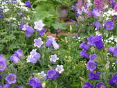 Purple Bell flowers — Stock Photo