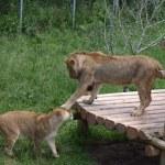 ������, ������: Take that lions