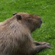 Royalty-Free Stock Photo: Capybara