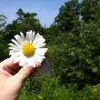 A daisy. - Stock Photo