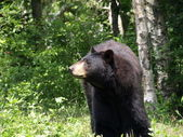 Black bear at the zoo. — Stock Photo