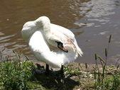 Cisnes — Foto de Stock