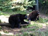 Black bears — Stock Photo