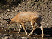 Deer — Zdjęcie stockowe