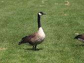 Goose — Stock Photo