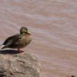 Mallard on rock - Stockfoto