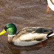 Foto Stock: Male mallard duck