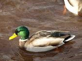 Canard colvert mâle — Photo