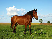 Horse at field — Stock Photo