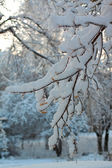 Branches of tree in snow — Stock Photo