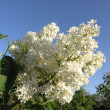White Lilac branch — Stock Photo