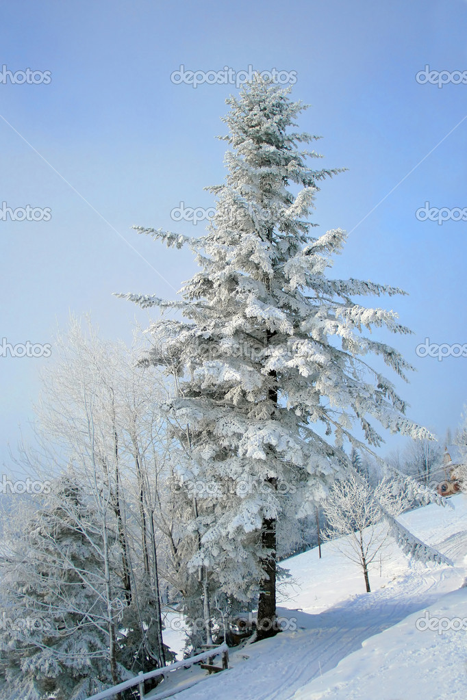 Snow covered fir tree in mountains under blue sky   Stock Photo #1685199