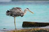 Heron in action. Perfect nature. — Stock Photo