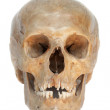 Real skull of human. Isolated. - Stock Photo