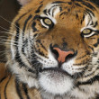 thumbnail of Siberian tiger