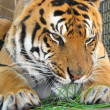 Tiger eating the grass - Stock Photo