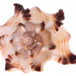 Seashell isolated — Stock Photo