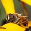 Hoverfly — Stock Photo #1434683