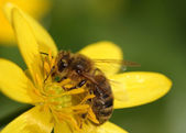 Little bee on the yellow flower — Stock Photo