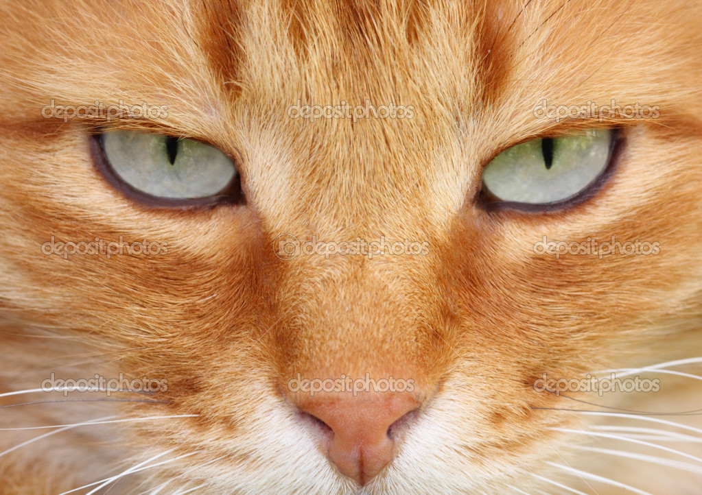 Red cat with cute grey eyes close-up  — Stock Photo #1434566