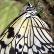 Tropical butterfly (Idea leuconoe) - Stockfoto