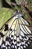 Tropical butterfly (Idea leuconoe) — Stock Photo