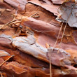 Old pine bark — Stock Photo