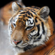 Stock Photo: Siberian tiger