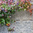 Stone wall with flowers — Photo
