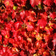 Stock Photo: Autumnal vine leaves
