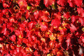 Autumnal vine leaves — Stockfoto