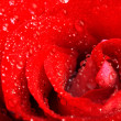 Red rose with water droplets — Foto Stock