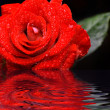Red rose with water droplets — Stockfoto